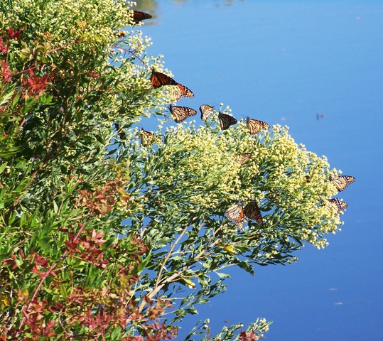 monarchs-on-the-water-1014