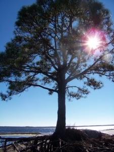ocean-pine-0215