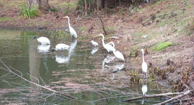 storks-and-egrets-waverly-0214