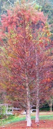 larch-in-autumn-1212