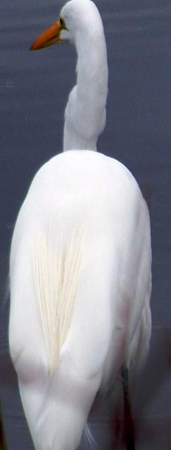 snowy-egret-110311